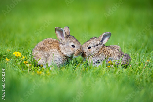 Cute two little hare sitting in the grass. Picturesque habitat, life in the meadow.