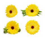 Calendula flower set isolated on the white background - 204328392