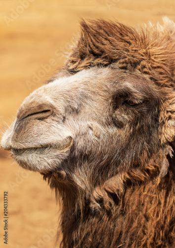Aluminium Kameel face of a camel macro