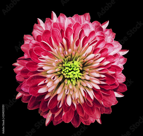 Chrysanthemum bright pink. Flower on isolated black background with clipping path without shadows. Close-up. For design. Nature.