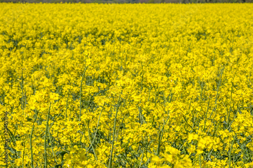 Fotobehang Oranje Vivid Canola/Rapeseed Flowers