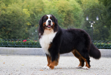 Bernese mountain dog outside in beautiful park.