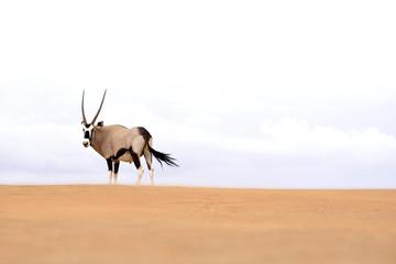 Oryx Antilope in Namibia