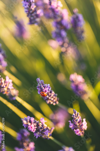 Plexiglas Lavendel Coccinelle sur une Fleur de Lavande