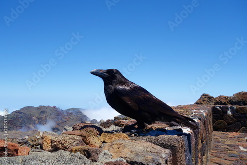 Black Raven posing for a photo at the highest mountain of La Palma called Roque de los Muchachos, Canary Islands, Spain, Europe