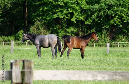 Plexiglas Paarden Pferde auf der Koppel
