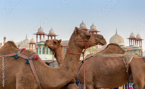 Fotobehang Kameel camels