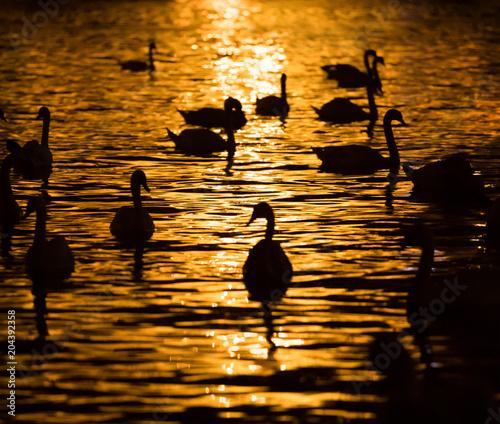 Plexiglas Zwaan Group of swans swimming in river at night