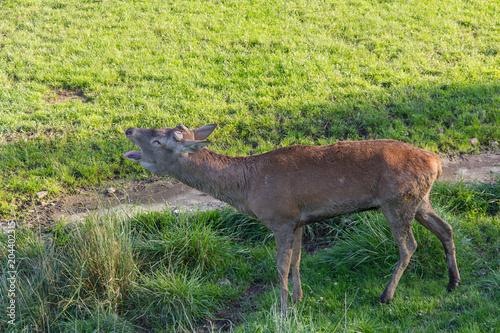 Fotobehang Hert Deer roaring out loud on open green field on sunny day