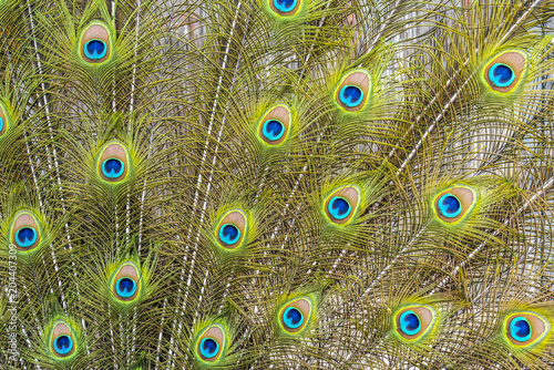 Plexiglas Pauw Background from colorful peacock feathers - detail