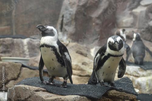 Plexiglas Pinguin Penguins