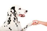 Dalmatiner gibt die Pfote isoliert auf weißem Grund