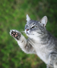 funny curious striped kitten pulls nose and paws up