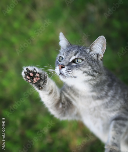 Fotobehang Kat funny curious striped kitten pulls nose and paws up