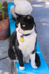 Black and white cat in collar