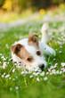 Quadro Liegender Terriermischling liegt in einer Frühlingswiese