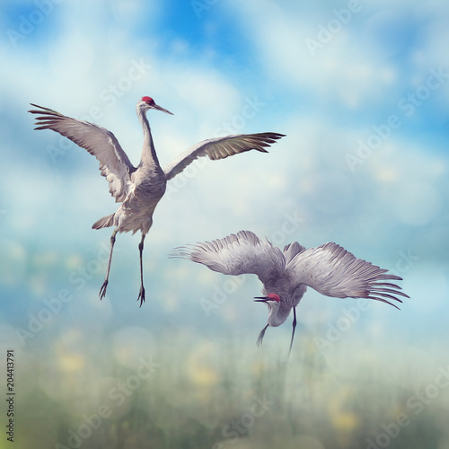 Pair of Sandhill Cranes courtship dance Poster