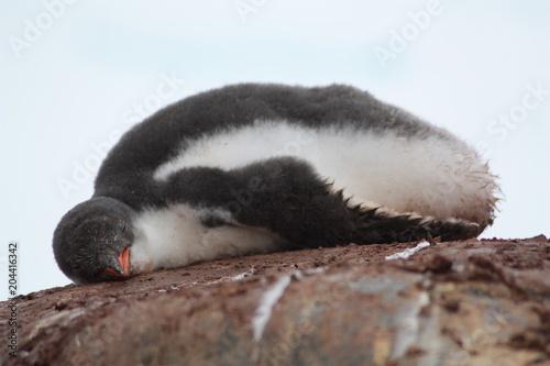 Plexiglas Pinguin Eselspinguin-Antarktis