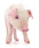 Pig on white - 204428794