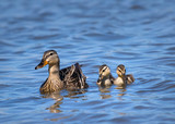 Female Mallard duck (Anas platyrhynchos) and two ducklings swimming in the lake