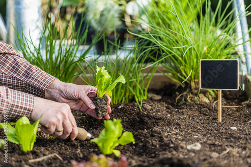The gardener plants young seedlings in the ground.