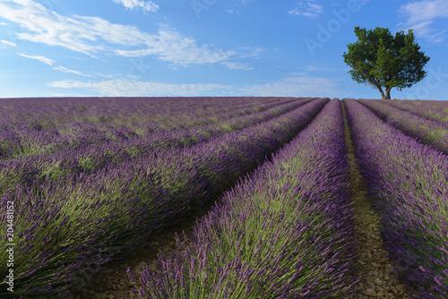 Fototapeta Lavender field in Valensole plateau, Provence, France