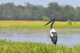The black necked stork (Ephippiorhynchus asiaticus) is a tall long necked wading bird in the stork family, Kakadu National Park Australia.