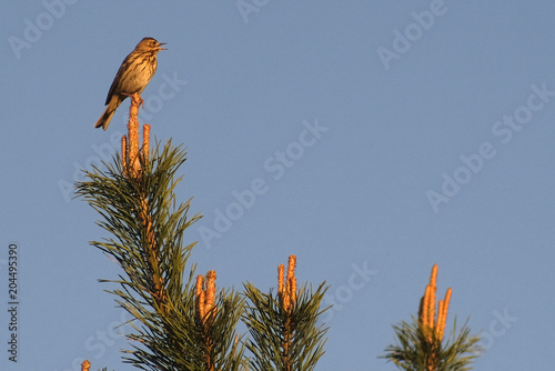 the image of a bird on a branch of a pine