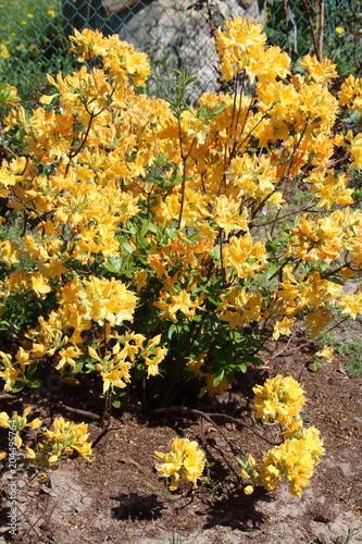 Fotobehang Azalea Bright yellow azalea