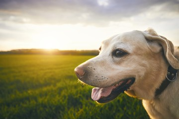 Happy dog at the sunset