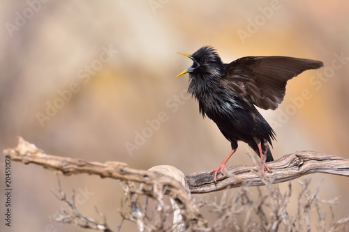 Spotless starling perched on a branch Poster
