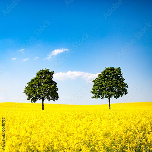 Plexiglas Geel Himmel, Raps und Bäume