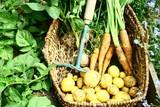 récolte de carottes ,pomme de terre nouvelles ,au printemps au potager,outil