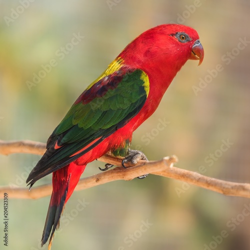 Aluminium Papegaai A chattering lory standing on a branch