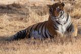 tigre tumbado