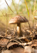 Edible fungus grows in the woods