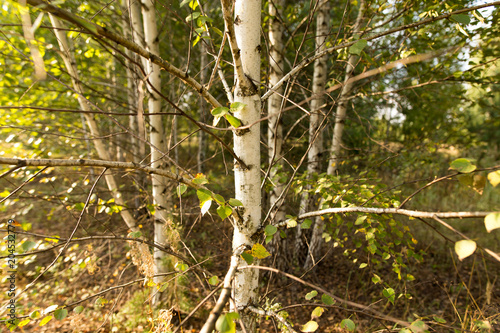 Birches in the open air in the forest