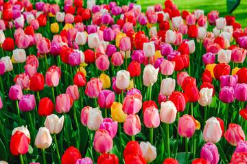 Tulpen in Holland im Frühling