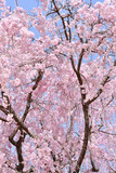 Weeping cherry in Japan - 204541172
