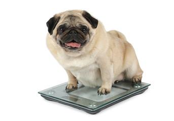 Fat Pug dog weighting on floor scales