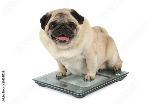 Fototapeta Fat Pug dog weighting on floor scales