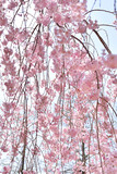 Weeping cherry in Japan - 204542393