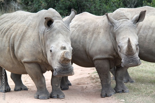 Fotobehang Neushoorn White rhino in the Cape, South Africa