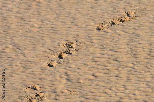 footprint of elephant in sand,Kruger National park in South Africa