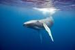 Humpback whale underwater in Caribbean