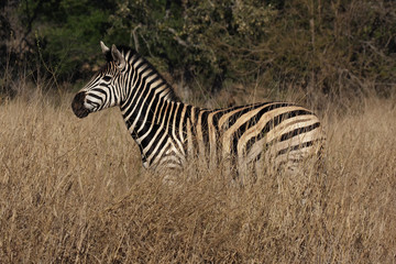 The plains zebra (Equus quagga, formerly Equus burchellii) standing in high, dry and yellow grass in savanna with green background