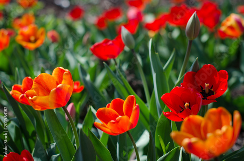 Plexiglas Tulpen Group of red tulips in the city park
