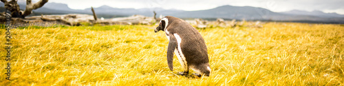 Plexiglas Meloen lonely penguin walking on golden grass | panorama