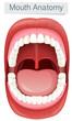 Human Mouth Anatomy on White Background