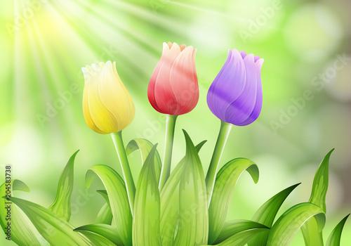 Fototapeta Colourful Tulip in Nature Background